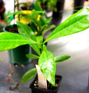 Bush_foods_Plant